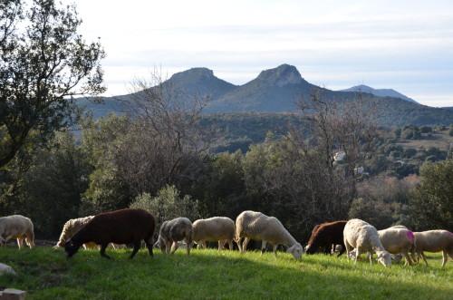 Jumelles&moutons